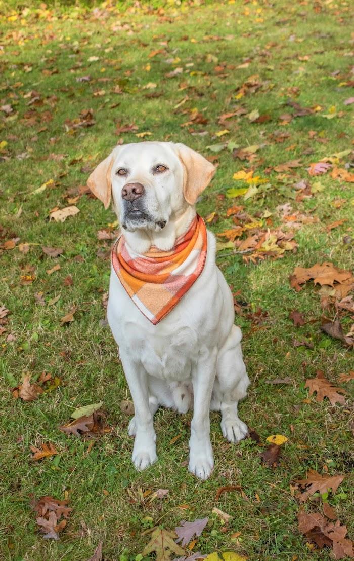 How To Train Your Labrador Retriever To Hunt?