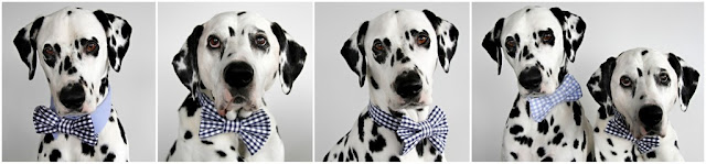 Dalmatian dogs wearing bow ties and shirt collars