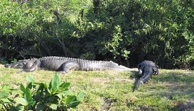 Buaya aligator raksasa sedang berjemur.
