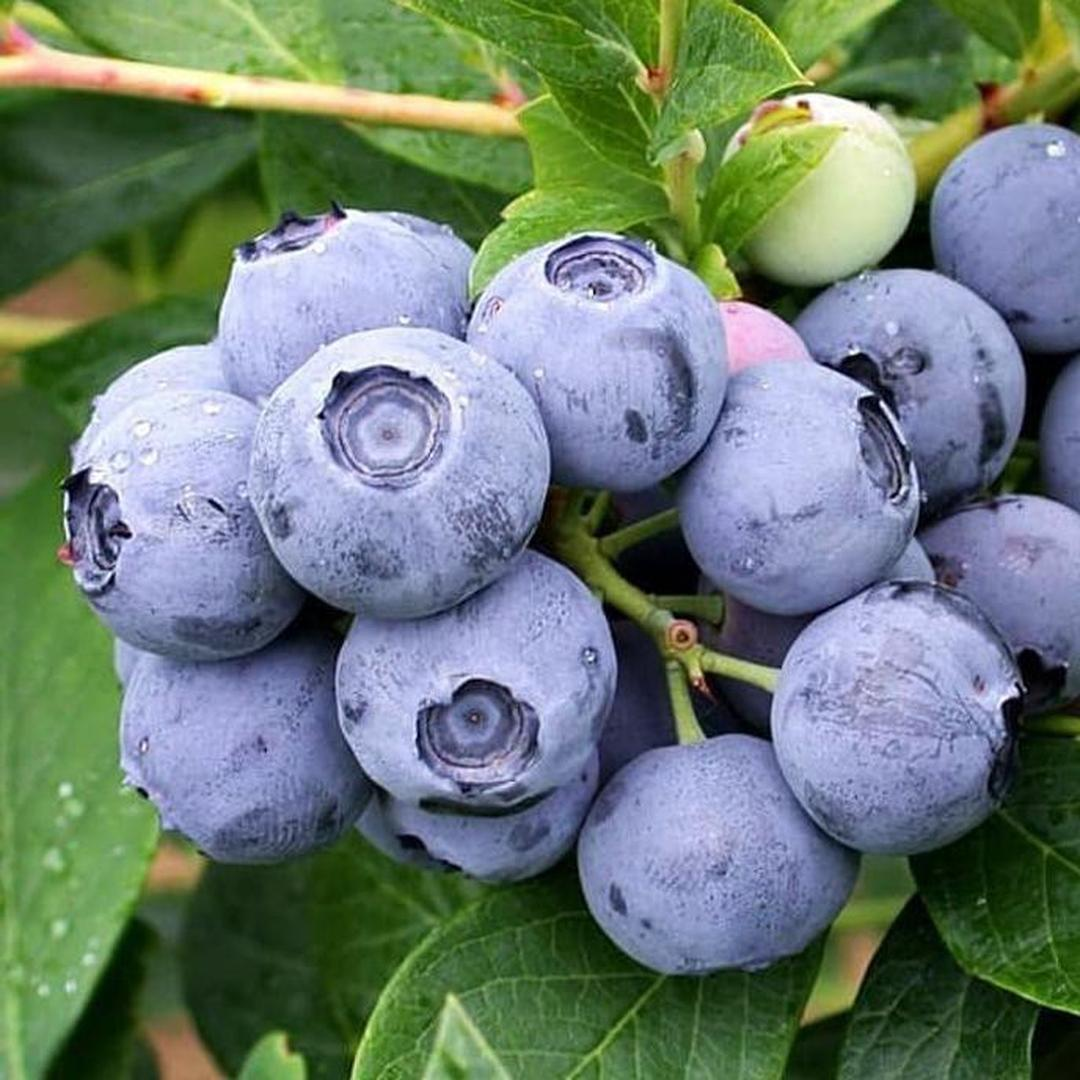 Stok melimpah! Hrv Bibit Benih Biji Buah Blueberry Import Vaccinium Formosum Isi 25 Biji Kota Jakarta #bibit
