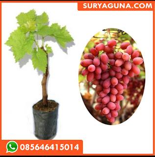 Bibit Anggur Crimson
