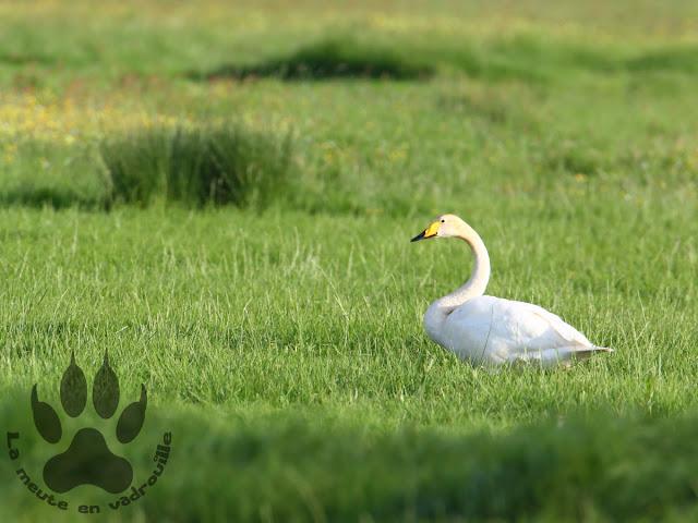 Suede-Scanie-vomb-prairies-cygne-chanteur