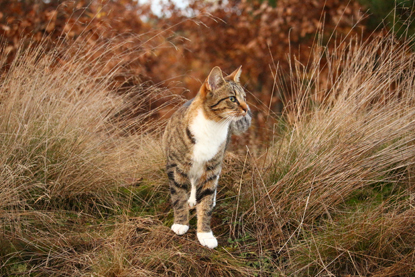 tabby and white cat walking through long grass