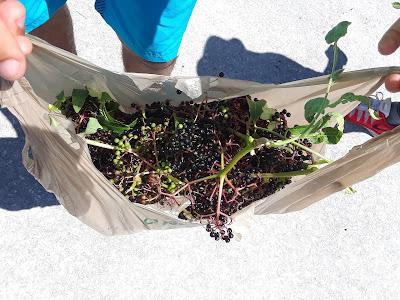 elderberries in a bag