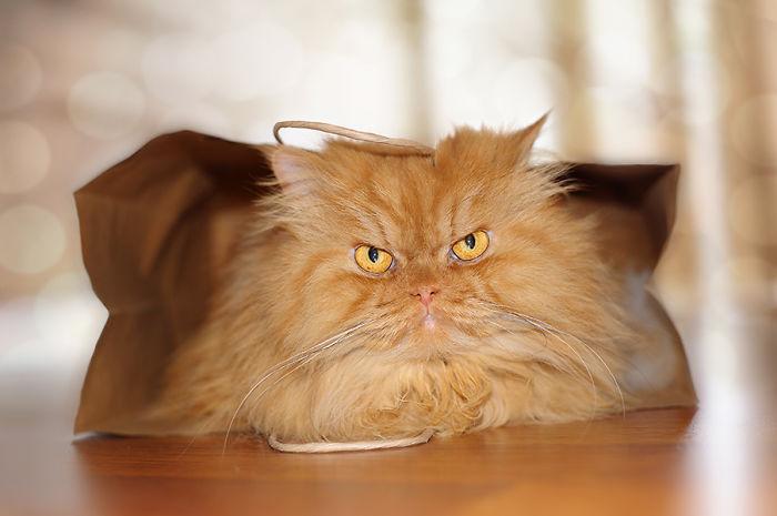 garfi-evil-grumpy-persian-cat-16