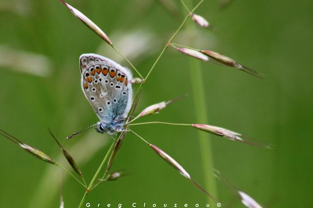 Bel Argus (Polyommatus bellargus) 77 ENS Prairie de  Malécot