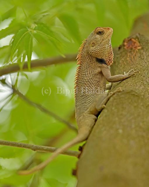 Indian Chameleon