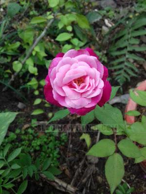 Hoa hồng quế kép đổi màu