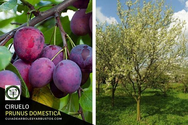 Árbol del Ciruelo, Prunus domestica