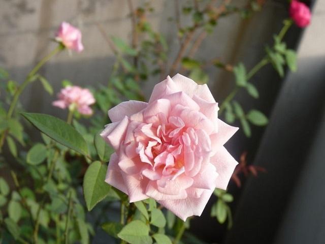 y nghia hoa hong dao