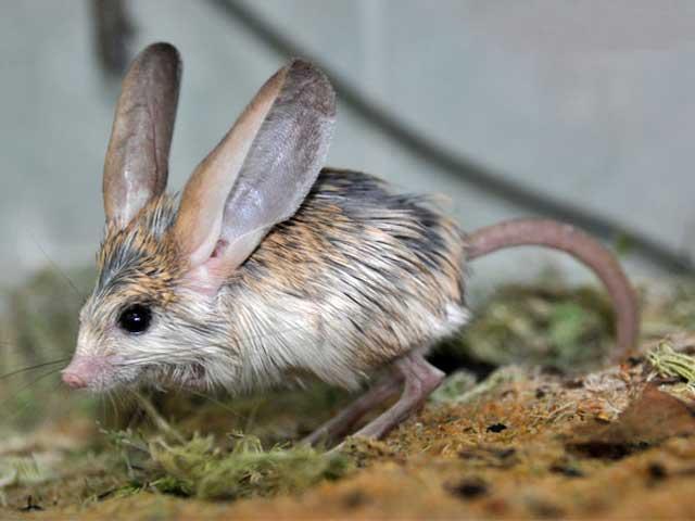 Tikus Kanguru Berkuping Panjang