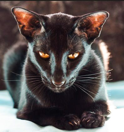 Black Oriental SH