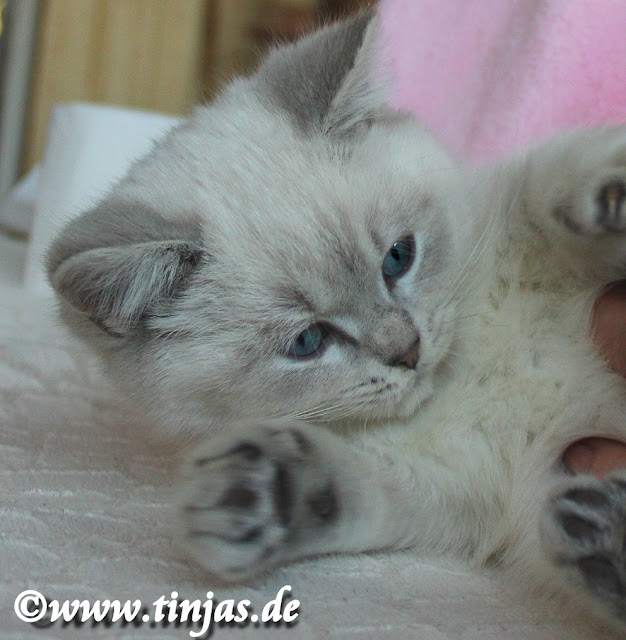 Katzenbabys Britisch Kurzhaar colourpoint