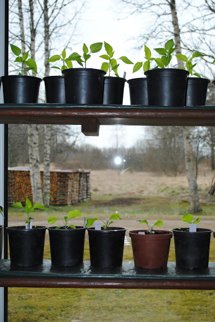 Külvatud taimed aknalaual