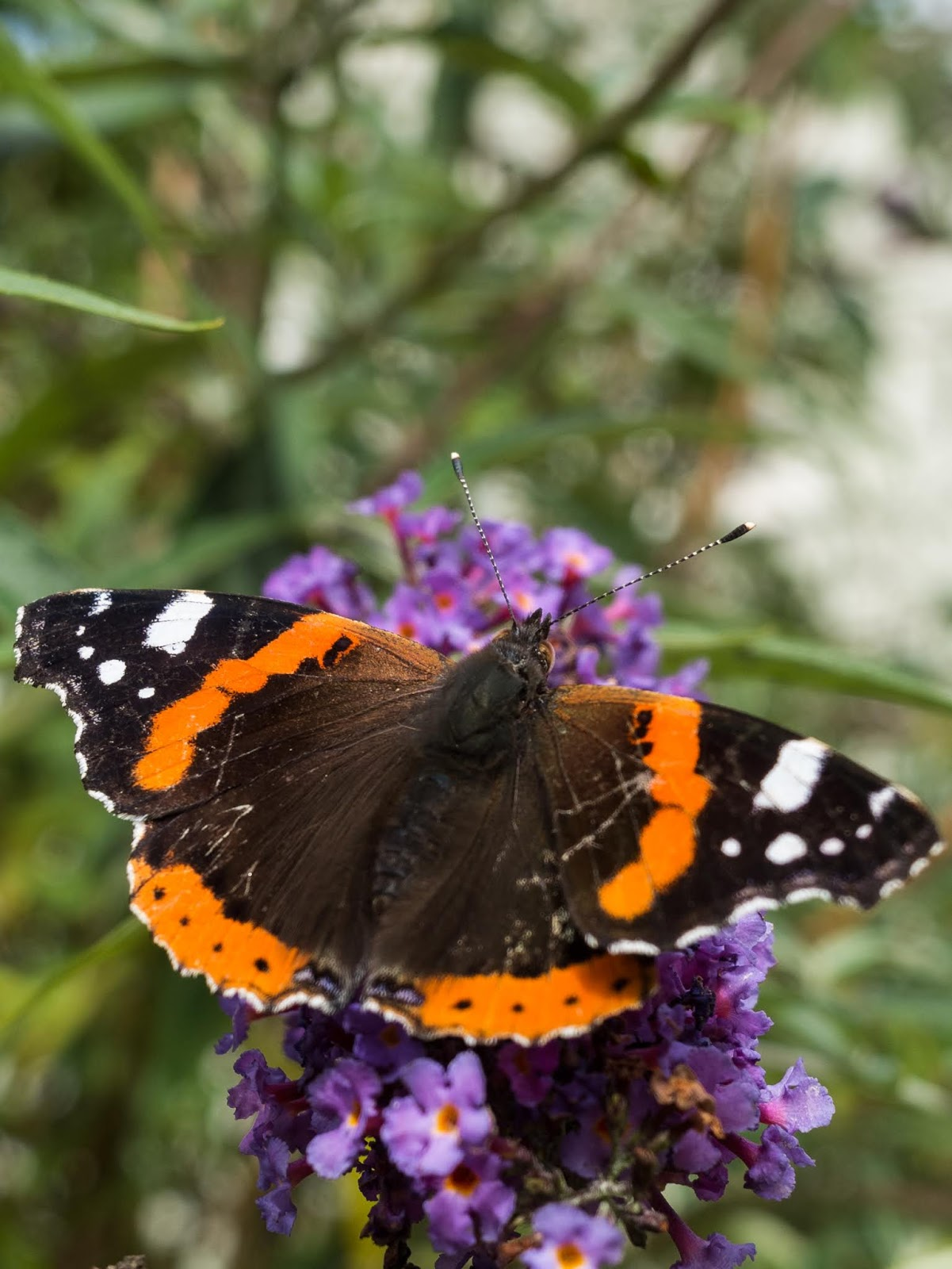 A macro of a Red Admiral sitting on a Butterfly bush.