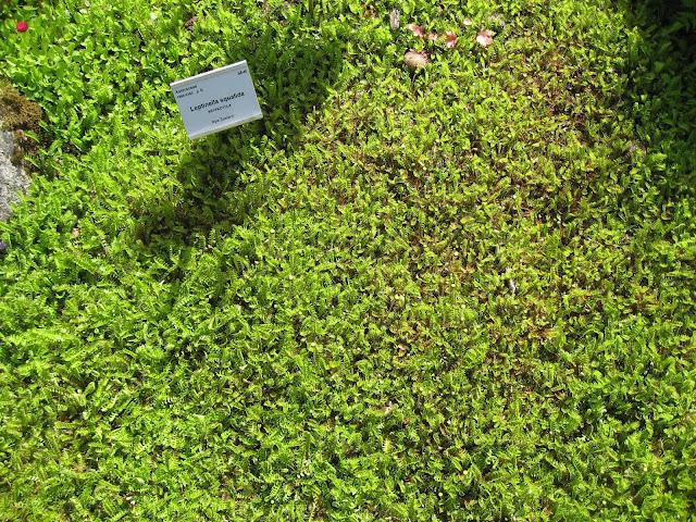 Tråkkbregne - Lepinella squalida - Gøteborgs botaniske hage