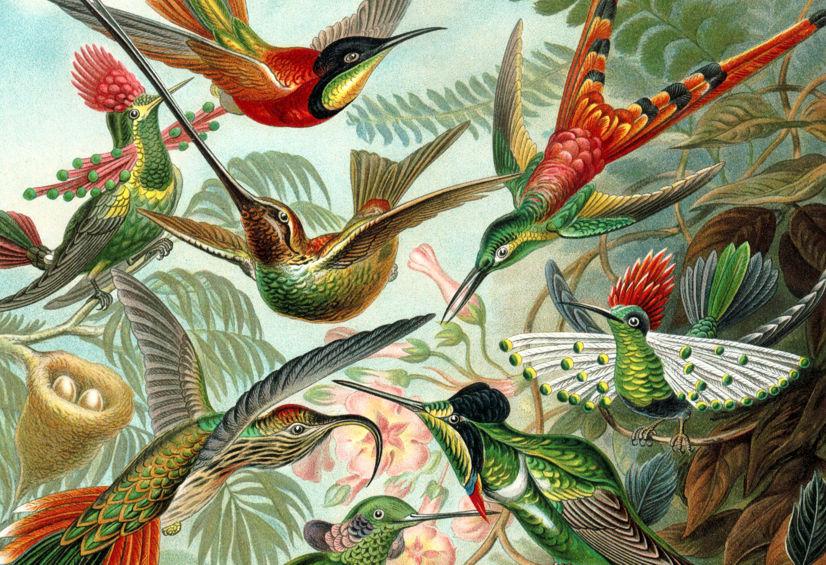 Troquílidos (colibríes), por Ernst Haeckel (detalle)