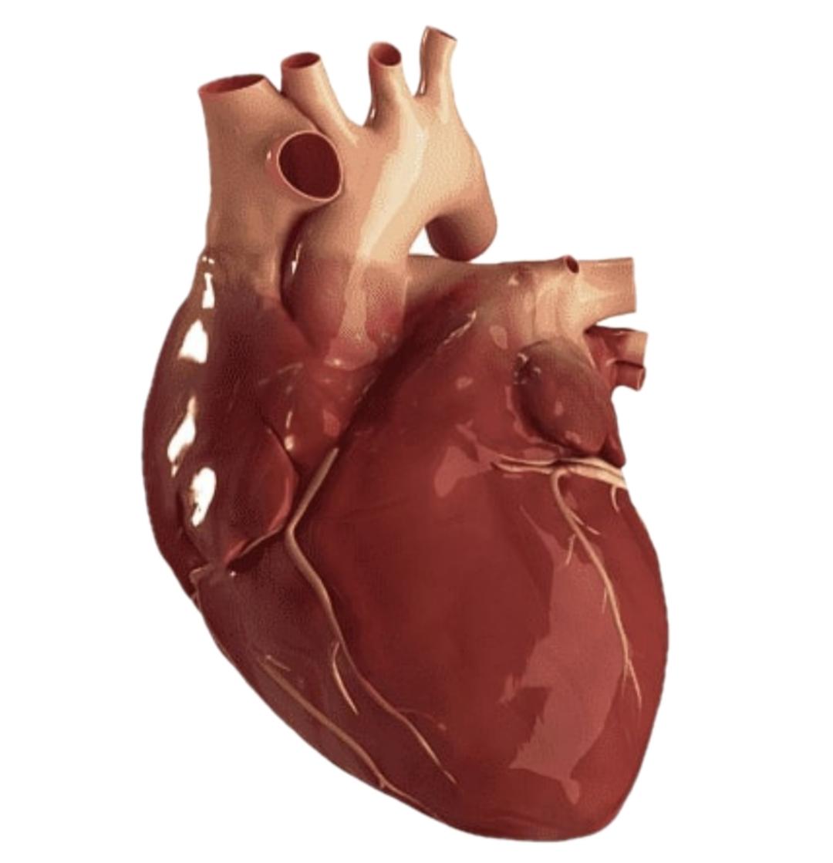 Kenali Pembuluh Darah Jantung Anda