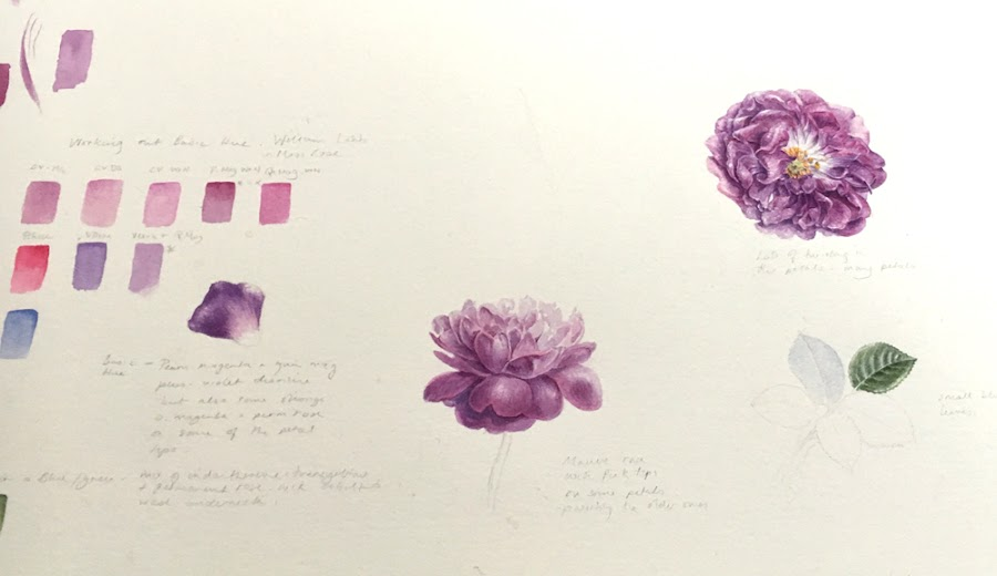 Study page in watercolour of a mauve rose, William Lobb
