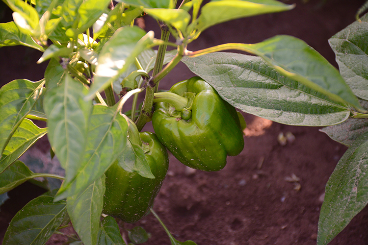 Gardening; Peppers | My Darling Days