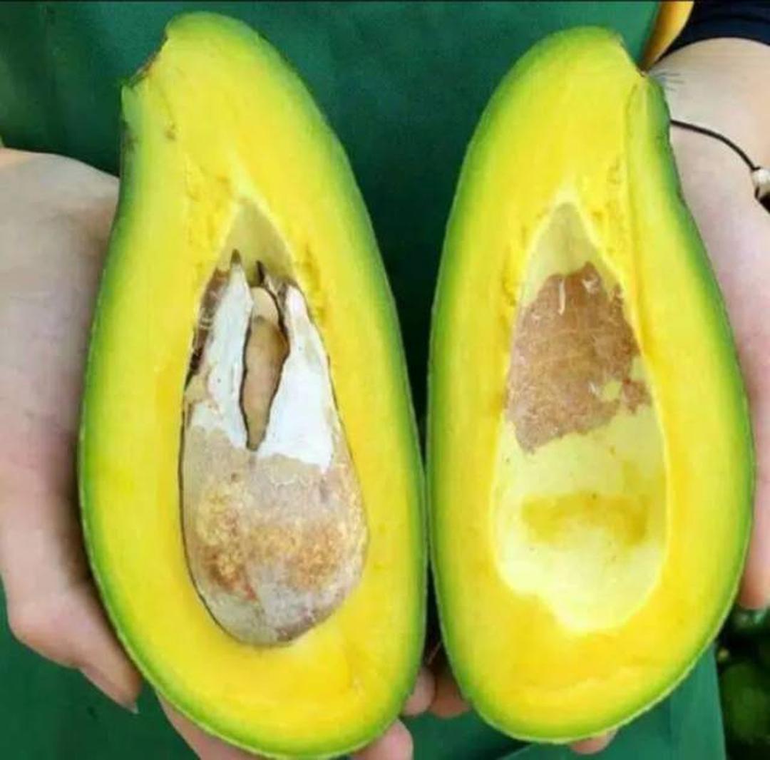 Obral! bibit tanaman alpukat mentega jumbo super buah mencapai 2kg COD Kota Bekasi #bibit buah langka