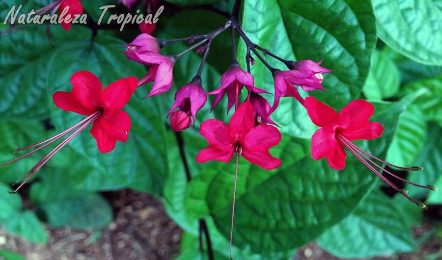 Híbrido entre dos especies de trepadoras del Género Clerodendrum. Clerodendrum thomsoniae x Clerodendrum splendens