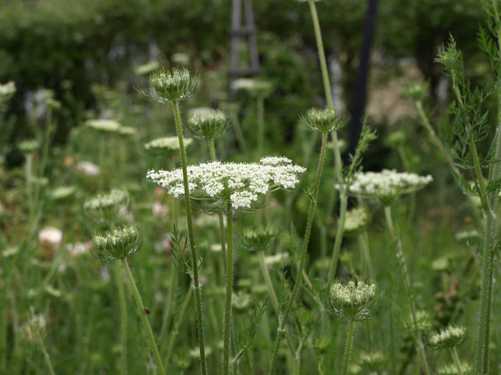 Trädgård i torslanda: slöjsilja   drottningen med många slöjor