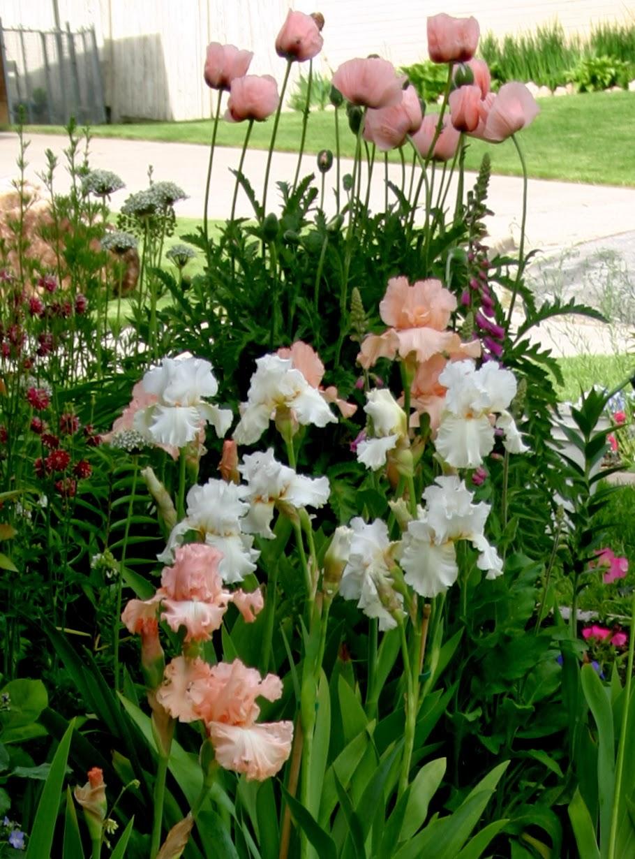 World Of Irises Talking Irises Tall Bearded Irises In Your