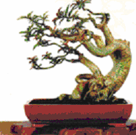 Gambar Bentuk bonsai tersapu angin