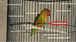 https://www.mysomer.com/2019/09/ciri-ciri-lovebird-akan-gestang-dan-cara-menanggulangi.html
