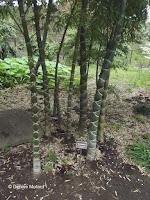 Moso bamboo, Tokyo Imperial Gardens, Japan