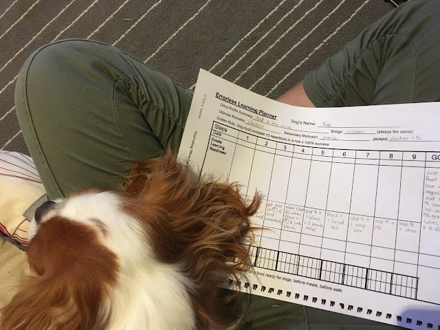 Ava's brown and white puppy head on lap with a training plan