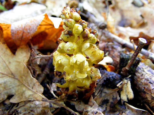 Bird's Nest Orchid Neottia nidus-avis, Indre et Loire, France. Photo by Loire Valley Time Travel.