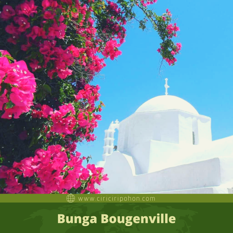 ciri ciri pohon bunga bougenville