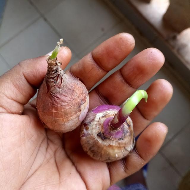 onions, growing, yaounde, douala, blogger