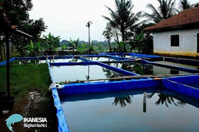 Budidaya Ikan Sidat Dengan Kolam Terpal
