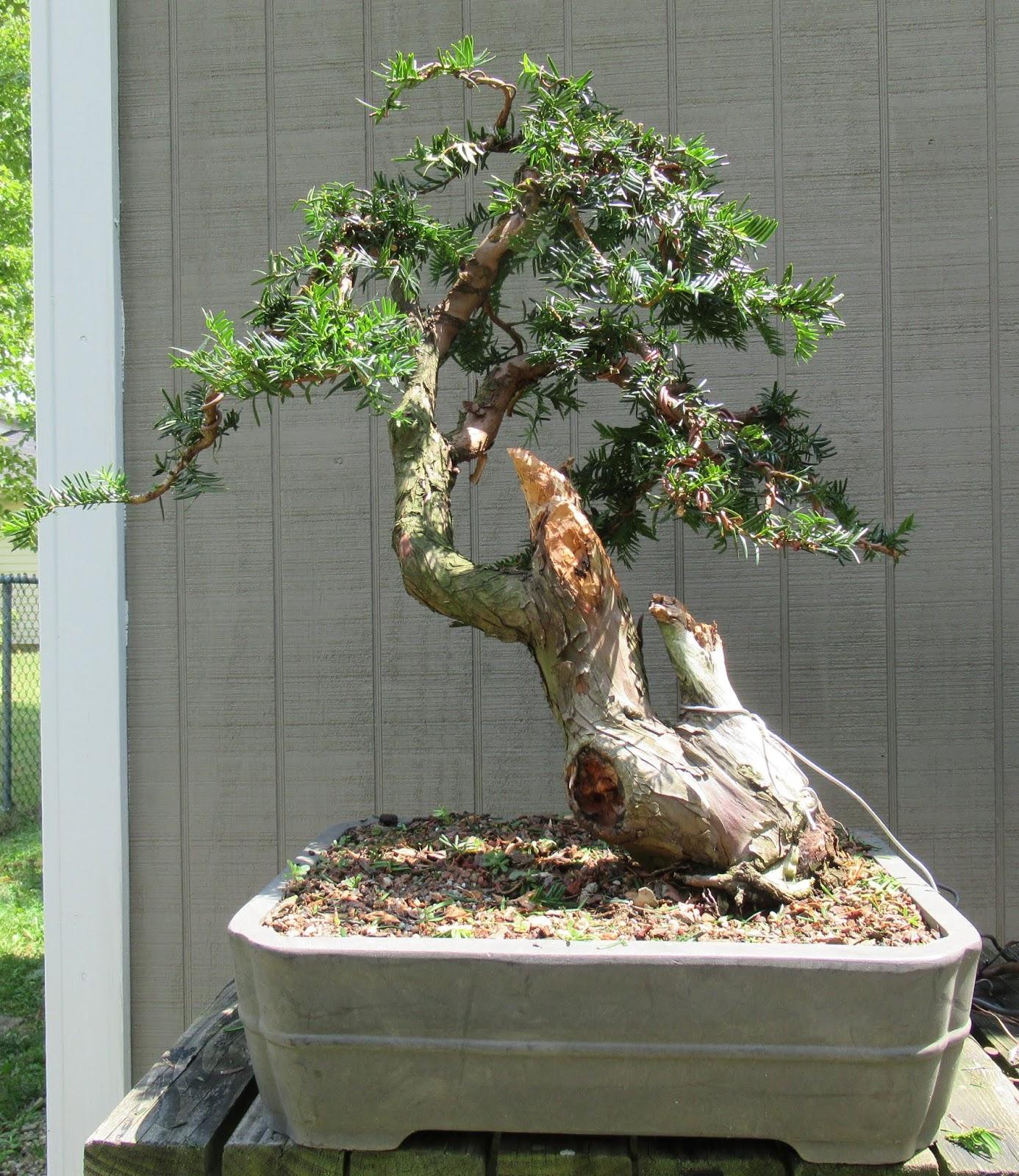 Bonsai Tree Akron Ohio Bonsai Tree