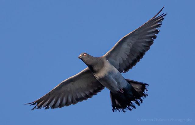 Rock Pigeon Diep River Milnerton Woodbridge Island