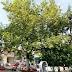 Σώθηκαν τα πλατάνια της πλατείας στη Σουρωτής - Η ανακοίνωση της Κοινότητας !