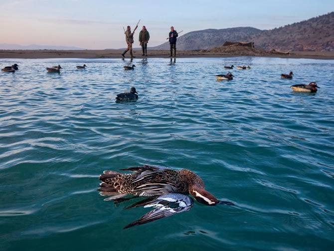 A dead garganey floats among lifelike decoys that lured it within shooting range. Few citizens had guns until the national armories were ransacked in 1997. Now Albania is awash in firearms, and the coast has become lethal for migrating birds.