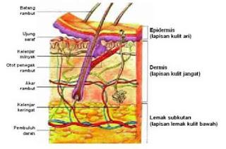 Bagian-bagian kulit