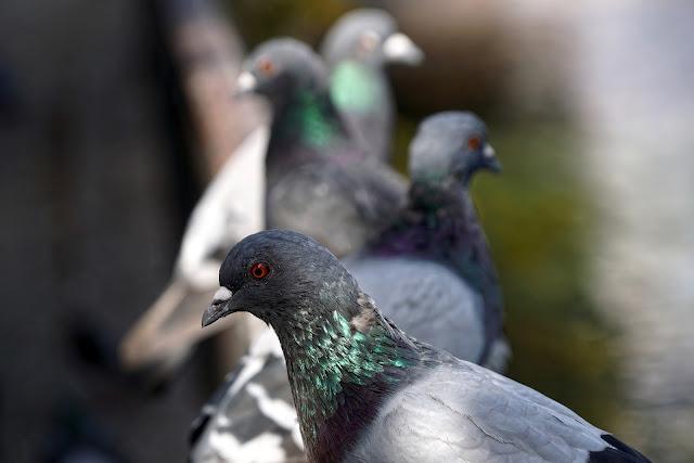 Budidaya ternak burung merpati