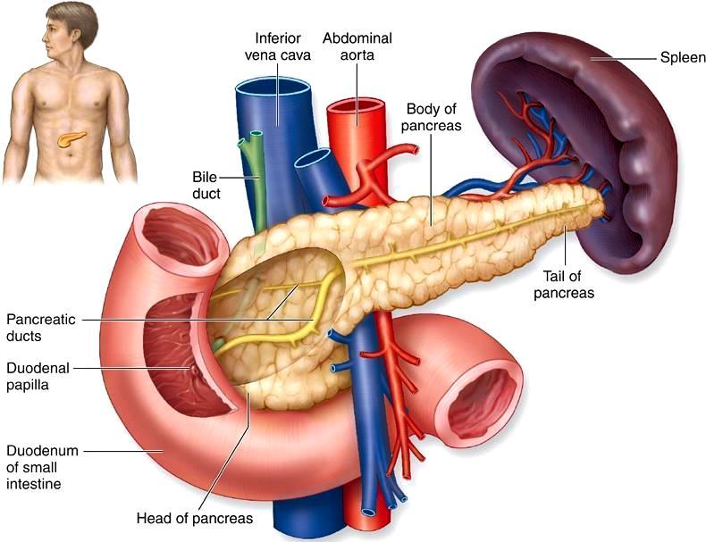 Dibujo del páncreas del ser humano indicando sus partes en inglés