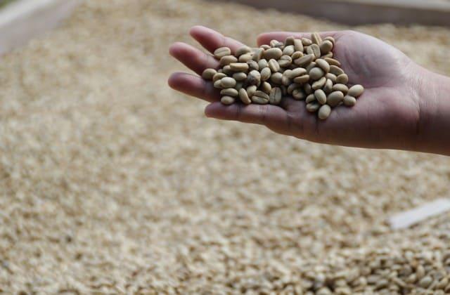 fakta kopi luwak yang termahal