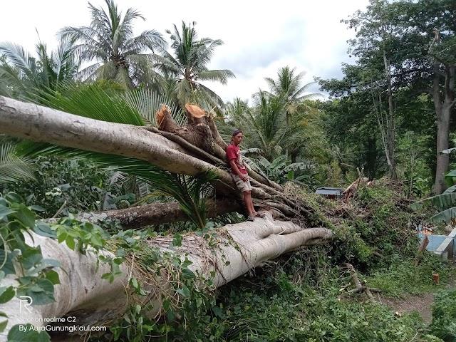 Pohon Beringin Yang Berumur Ratusan Tahun Roboh