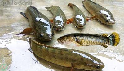 spotted snakehead fish, টাকি; শাটি বা গড়াই মাছ