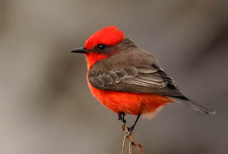 Photo of male Vermilion Flycatcher