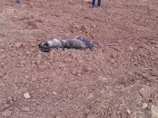مراسل شبكتنا يرافق الأهالي في ملاحقة كلاب أطلقه الاحتلال التركي على ريفي درباسية وعامودا(+ صور وفيديو)