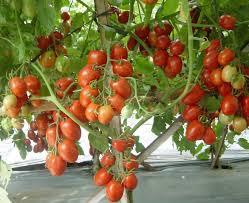Cara Budidaya Tomat Organik Di Lingkungan Sekitar