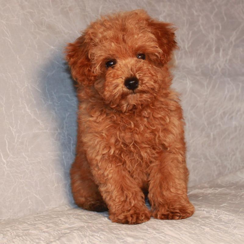 Miniature Red Poodles For Sale
